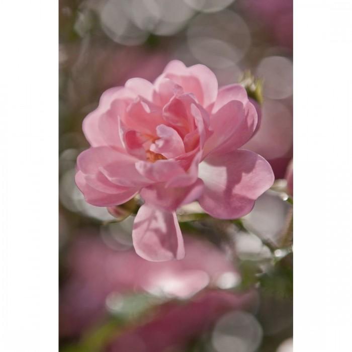Φωτοταπετσαρία Τοίχου Ροζ Άνθη - Komar - Decotek 4-713