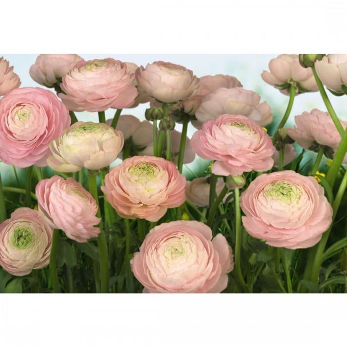 Φωτοταπετσαρία Τοίχου Τριαντάφυλλα - Komar - Decotek 8-894