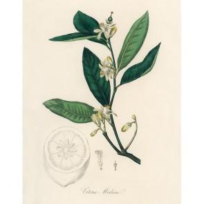Πίνακας Ζωγραφικής Citron Citrus Medica – Decotek 190896