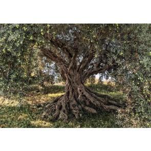 Φωτοταπετσαρία Τοίχου Δέντρο Ελιάς - Komar - Decotek 8-531